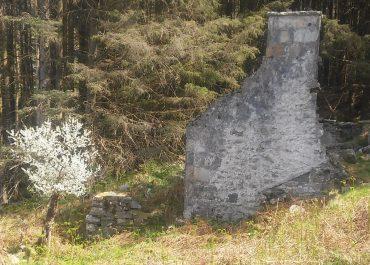 Draenen Ddu – Blackthorn – Shillelagh by Wyn Rowlands (Nant Gwrtheyrn's gardener)