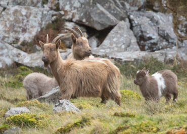 First of its kind research project to be carried out on north Wales goats